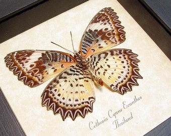 Real Framed Butterfly Leopard Lacewing Shadowbox Display 133