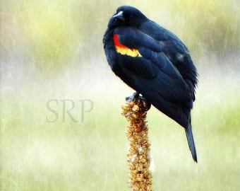 Little Ball o' Blackbird - PHOTO PRINT - Red-Winged Blackbird