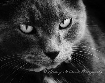 cat art, black and white cat photography, cat print, Chairman Meow, chat noir, cat eyes, kitty photo