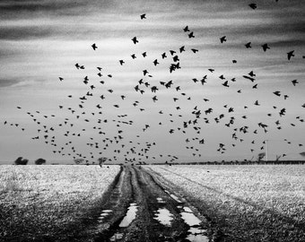 The Starlings II, Wales, Birds, Limited Edition Photograph, Fine Art Print, Landscape, Field, Winter