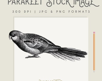 Vintage Parakeet Bird Illustration Instant Download Digital printable picture clipart graphic transfer high resolution