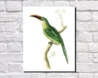 Grooved Bill Aracari Print, Birds Poster, Wildlife Art, Vintage Birds Illustration, Ornithology Fine Art Print,  Ornithologist Gift, 0545