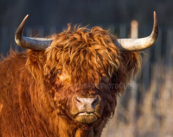 SCOTTISH HIGHLAND CATTLE * Farm Life * Wall Art Farming Gifts Posters Farmers Cows Bulls Long Horn Shaggy Cattle Livestock - Made in U.S.A.
