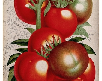 antique victorian botanical print fill basket tomatoes illustration DIGITAL DOWNLOAD