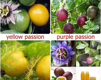 Thai Passion Fruit Seeds, sweet tropical seed - 10 fresh seeds - PASSIFLORA EDULIS- Yellow, Purple or Mini choose variety