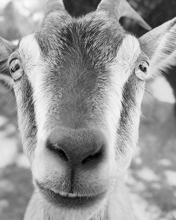 Smiling goat photograph animal photography goat art print