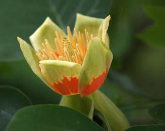 Liriodendron tulipifera   Tulip Tree   30 Seeds   (Free Shipping)