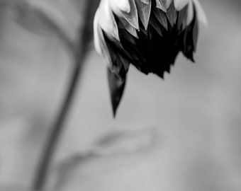 Dark Sunflower About to Bloom, Black and White Flower, Close up from a New England flower garden - Digital Download
