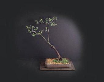 Yellow Hawthorn Bonsai Tree,  Rare flora collection from LiveBonsaiTree