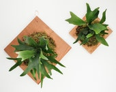 Staghorn Fern Plaque with Cedar Board + Spaghnum Moss