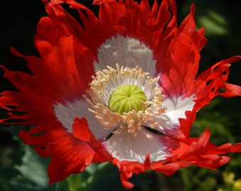 Papaver, Poppy Danish Flag 100 Seeds