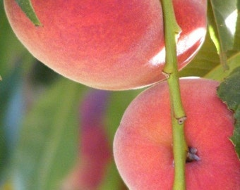 Luscious - Fine Art Nature Photograph - Peach Closeup - Kitchen Art - 4x6, 5x7, 8x10, 11x14, 16x20