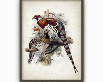 Pheasant Art Print - Pheasant Vintage Bird Illustration Art Poster - Pheasants Wall Art Poster - Game Bird Wall Art (AB408)