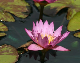 Pink Water lilies, Flower Photography, Lotus Photography, Fine Art Photography