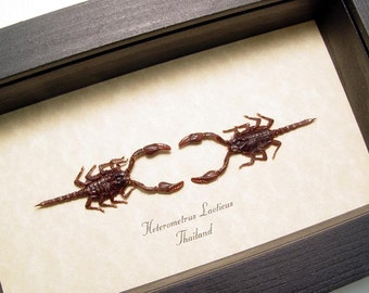 Real Framed Mini Fighting Dueling Scorpions Heterometrus Laoticus Set 8253