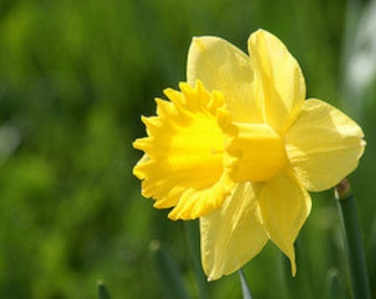 50 Wild Daffodil bulbs,Lent Lily (NARCISSUS PSEUDONARCISSUS