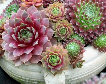 Hens and Chicks Succulent - 50 seeds