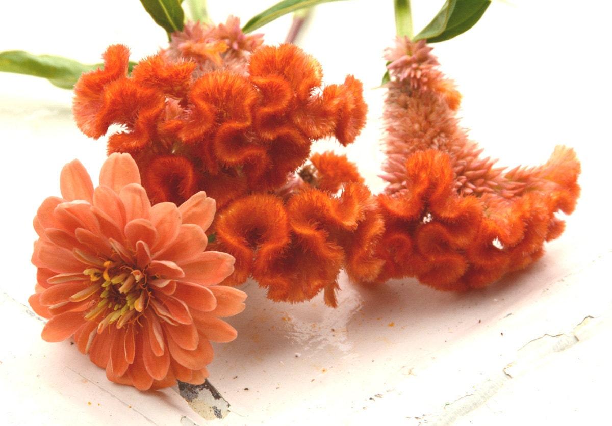 Heirloom Flowers, 2 Varieties of Flower Seeds, Benary\'s Salmon Rose ...