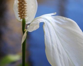 Flower photo, Tuscan Lily, nature, serene, dreamy, zen, reflections, white, green, white flower, kauai, home decor, office decor, fine art