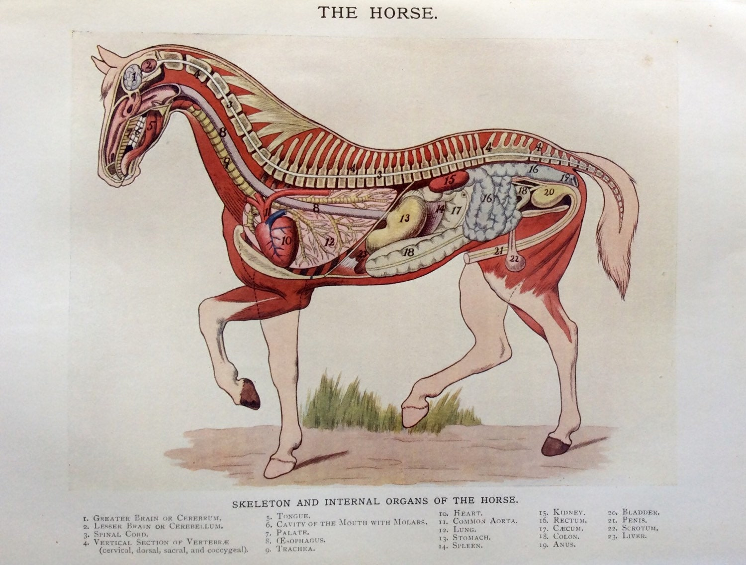 Fantastic Equine Anatomy And Physiology Illustration - Anatomy and ...