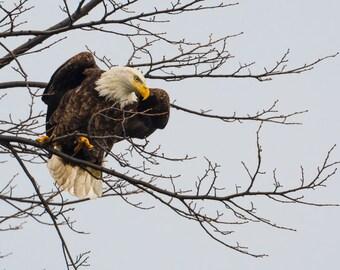 "Bald Eagle Print, Bald Eagle Photo, Eagle Art, Bird Art, ""Bald Eagle Take Off"""