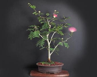 Pink Powder Puff bonsai tree, Blooming Tropics Collection from LiveBonsaiTree