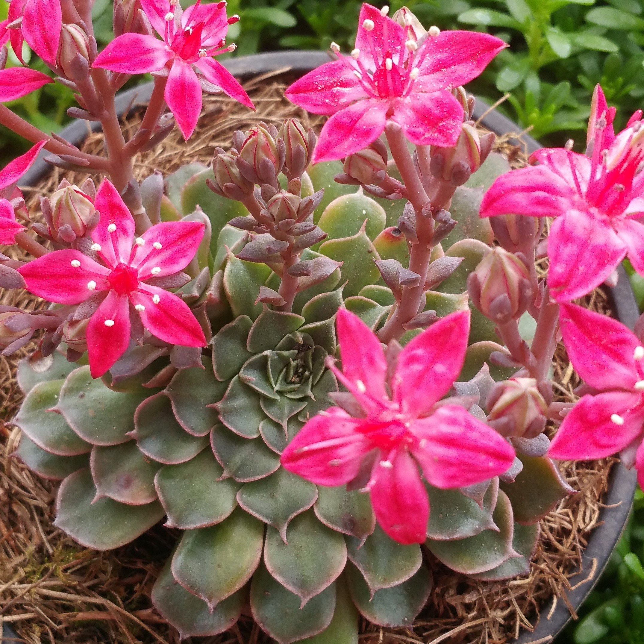 Graptopetalum tacitus bellus super star Cactus Cacti Real Live