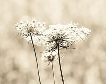 Queen Anne's Lace photography sepia decor flower photography nature photograph wall art white decor Vintage Lace