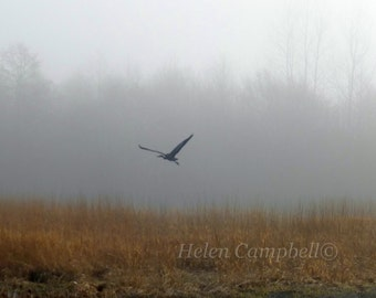 Great Blue Heron in Flight, Foggy Morning Winter Bird Watching Nature Photograph