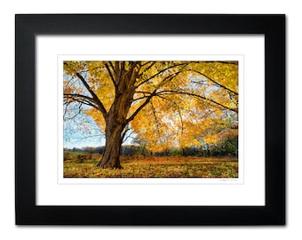 Framed Matted Autumn Landscape Tree Art, Limited Edition Nature Photography Wall Decor, Yellow, Ready to Hang Wall Decor