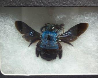 Blue Bubble Bee Specimen (XYLOCOPA)