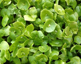 Miners Lettuce Heirloom Greens Seeds Wood Elf Greens Winter Purslane Indian Lettuce Non-GMO Naturally Grown Open Pollinated Gardening