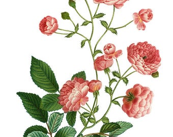 Vintage Rambler Rose, Rosier multiflore, Redoute, Flower Clipart, Botanical Clipart