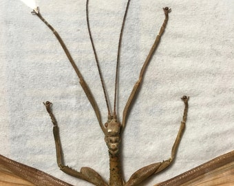 Diapherodes Gigantea Stick Insect Taxidermy - dried unmounted - entomology specimen collection - bugs artwork supply - Male Walking Stick