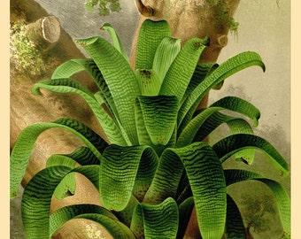 antique french botanical print tropical rainforest plant vriesea  illustration digital download