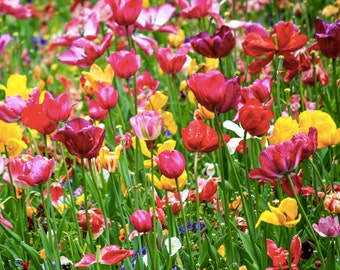 Tulips in Amsterdam Photography - Vondelpark Print - Spring Flowers Art