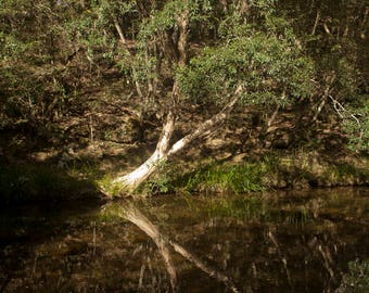 Australia Melaleuca On Water: Photography Print , Australian Bush, Tree  Fine Art Photography, Landscape image, Home Decore, Wall Art,