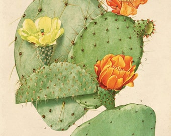 Cactus Blossom Botanical Print Plate 24. Prickly Pear Educational Vintage Chart Diagram Cactus Desert Poster Pull Down Chart flowers CP282