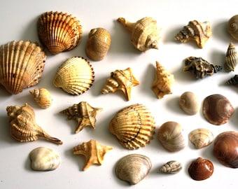 27 Adriatic Seashells, Set of 27 Sea shells, Lacquered seashells, Home Decor, Mosaic making, Gift from Holiday, Coastal Decor, Beach Wedding