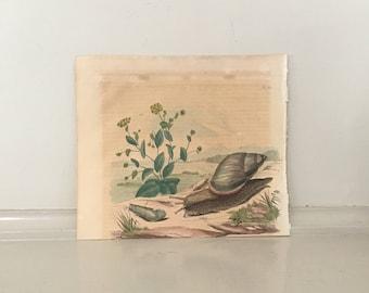 1835 exotic nature print rare original antique hand colored engraving - snail botanical