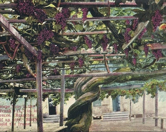Antique California Postcard Worlds Largest Grape Vine Wine Country