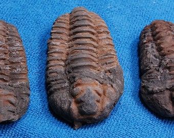 3 Brown Trilobites 20 x 40 x 70 mm up to 20 x 50 x 80 mm, You Will Receive All 3 of Them