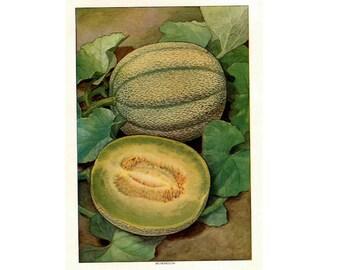 1911 melon original antique fruit & vegetable food lithograph print - monkmelon