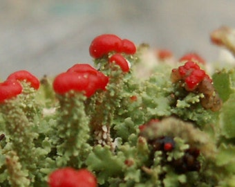 5 Pack British Soldier Lichen Cladonia for Terrariums & Fairy Gardens Beautiful Specimens