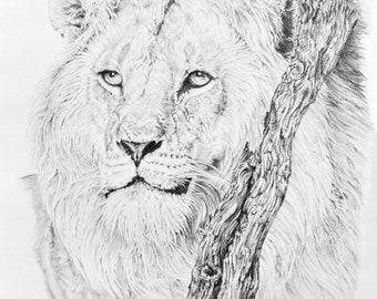 African Lion - Print