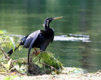 Male Anhinga Photograph // Florida Bird Photo // Wakulla Springs