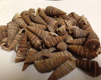 Cerithedia Cingulata Auger Seashells (5 Shells)