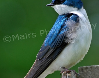Nursery Decor, Blue White Green Iridescent Gray Tree Swallow Bird Nature, Fine Art Photography signed matted 8 x 12 Original Photograph