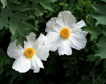 Matilija Poppy, Fried Egg Poppy, 25 seeds, Romneya coulteri, desert bloomer, zones 7 to 11, full sun, drought tolerant, gigantic blooms