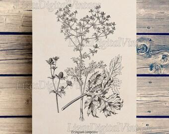 Eryngium, Digital print, Floral print, Vintage antique flower, Sea holly, Illustration, Botanical digital art print 8x10, 11x14, A3 JPG PNG